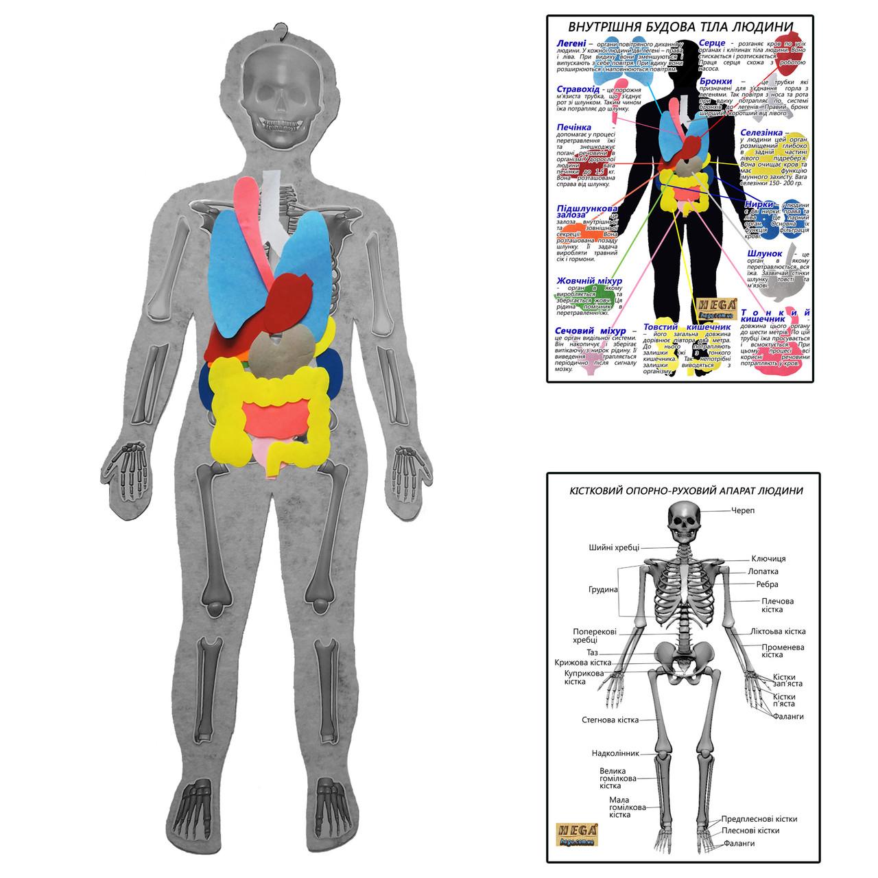 Скелет людини з органами HEGA з плакатами-вказівками