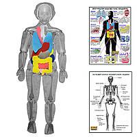 Модель тіла людини розбірна з органами HEGA з плакатами