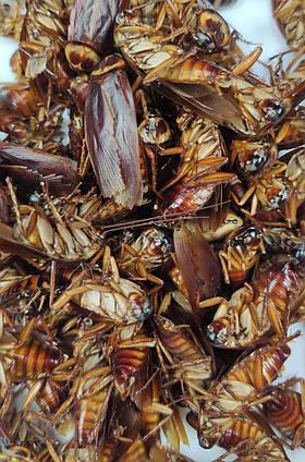 """Сублімований Туркменський тарган """"Просто додай води!"""" для : рептилій , їжаків , мурах , птиць , гризунів"""