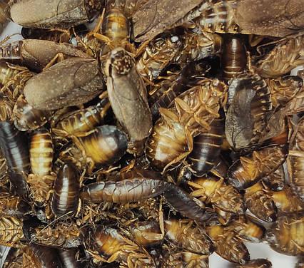 """Сублімований мармуровий тарган """"Просто додай води!"""" для : рептилій , їжаків , мурах , птиць , гризунів"""