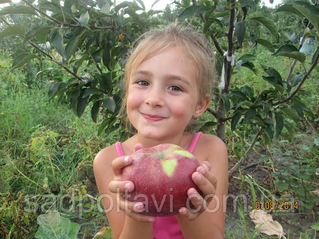 Саженцы яблони Граф Э330 2хлетние , фото 2