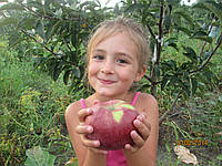 Саженцы яблони Граф Э330 2хлетние