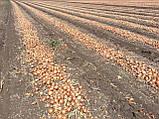 Семена лука Боско F1, 250 тыс.семян, фото 2