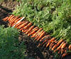 Семена моркови Ньюхол F1 1,8-2,0 мм 1 000 000 сем. Бейо заден.