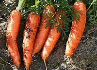 Семена моркови Номинатор F1 1,8-2,0 мм 1 000 000 сем. Бейо заден.
