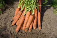 Семена моркови Норвалк F1 2,2-2,4 мм 1 000 000 сем. Бейо заден.
