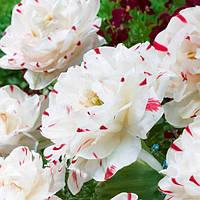 Луковицы тюльпанов Денслайн (Danceline), 3 шт