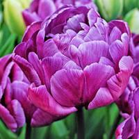Луковицы тюльпанов Блу Даймонд (Blue Diamond), 3 шт