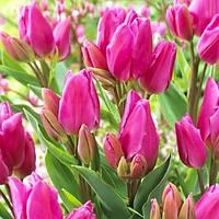 Луковицы тюльпанов Happy Family (Хэппи Фэмили), 3 шт