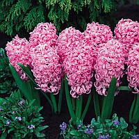 Луковицы гиацинта Пинк Перл (Pink Pearl), 2 шт