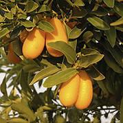 Кумкват Нордманн Нагами (Nordmann Seedless Nagami kumquat)