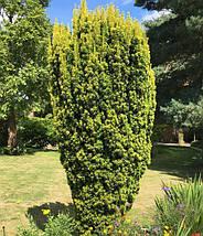 """Тис ягодный """"Фастигиата Ауреа"""", (С1,5, 25-30 см), фото 3"""