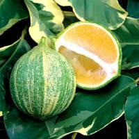 """Лайм """"Таити"""" Вариегатный (C.latifolia """"foliis variegatis"""") 20-25 см."""