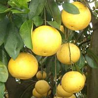 "Грейпфрут ""Дункан"" (C. paradisi ""Duncan"") 20-25 см. Комнатный, фото 1"