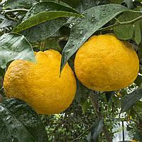 Греёпфрут C. paradisi Kawano natsu daidai до 20 см. Комнатный