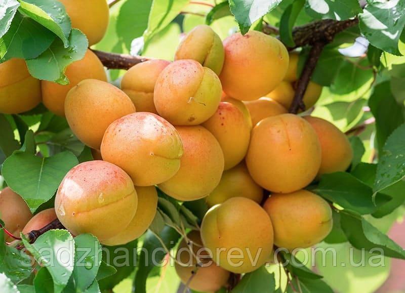 Саджанці абрикоса NJA-19