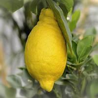 """Лимон """"Иволистный"""" Салицифолия (C. Limon Salicifolia) до 20 см. Комнатный, фото 1"""