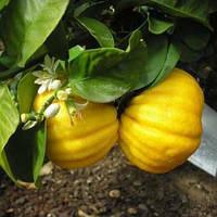 "Лимон ""Меллароза"" (C. Limon Mellarosa) 20-25 см. Комнатный"
