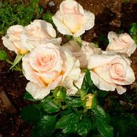Роза спрей Крем Грация (Cream Gracia), фото 1