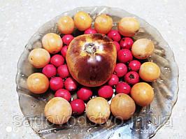 Томат Золотая лесная яблоня