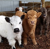 Cкотоводство