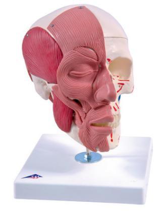 Модель черепа с лицевыми мышцами.