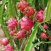 Питахайя (Pitahaya) Красная до 10 см. Комнатный, фото 1