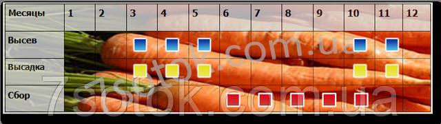 высев сбор семян моркови