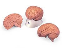 Модель мозга для начального изучения, 2 части.