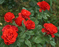 Роза El Toro, фото 1