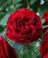 Роза Хоуп Фо Хьюманити, фото 1