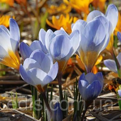 Крокус Ботанический Blue Pearl (Блю Перл) 5 луковиц