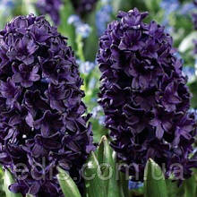 Гиацинт Blue Sapphire (Блю Сапфир) 2 шт./уп. 14/15