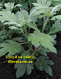 Хризантема середньоросла РЭЙНБОУ ТВІСТ, фото 3