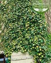 Hedera helix 'Goldheart', Плющ звичайний 'Голдхарт',P7-Р9 - горщик 9х9х9