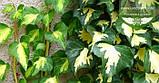 Hedera helix 'Goldheart', Плющ звичайний 'Голдхарт',C2 - горщик 2л, фото 3