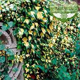 Hedera helix 'Goldheart', Плющ звичайний 'Голдхарт',C2 - горщик 2л, фото 7