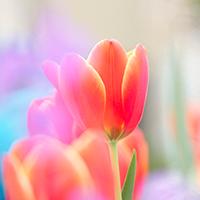 Тюльпани – Скинали каталог для кухні