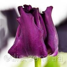 Тюльпан Волнистый Crown of Negrita (Краун оф Негрита) 2 луковицы 11/12
