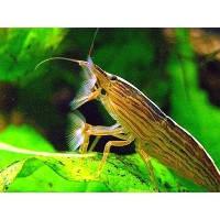 Креветка фильтратор (Atyopsis moluccensis) 5см