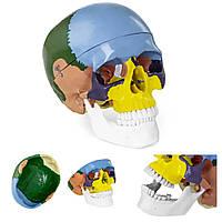 Анатомічна модель людського черепа в кольорі, масштаб 1: 1