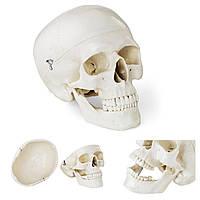 Анатомічна модель людського черепа за співвідношенням 1: 1