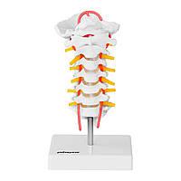 Анатомічна модель шийного відділу хребта людини за співвідношенням 1: 1