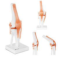 Анатомічна модель коліна в масштабі 1: 1