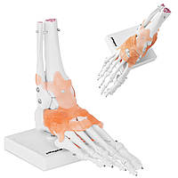 Анатомічні моделі гомілковостопних зв'язок в масштабі 1: 1