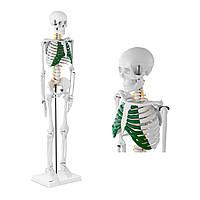 Людський скелет анатомічна модель 85 см