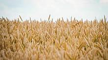 Пшеница  озимая  Богдана