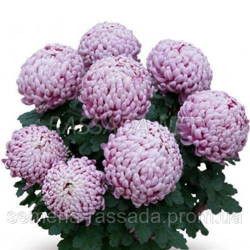 Хризантема Даника розовая