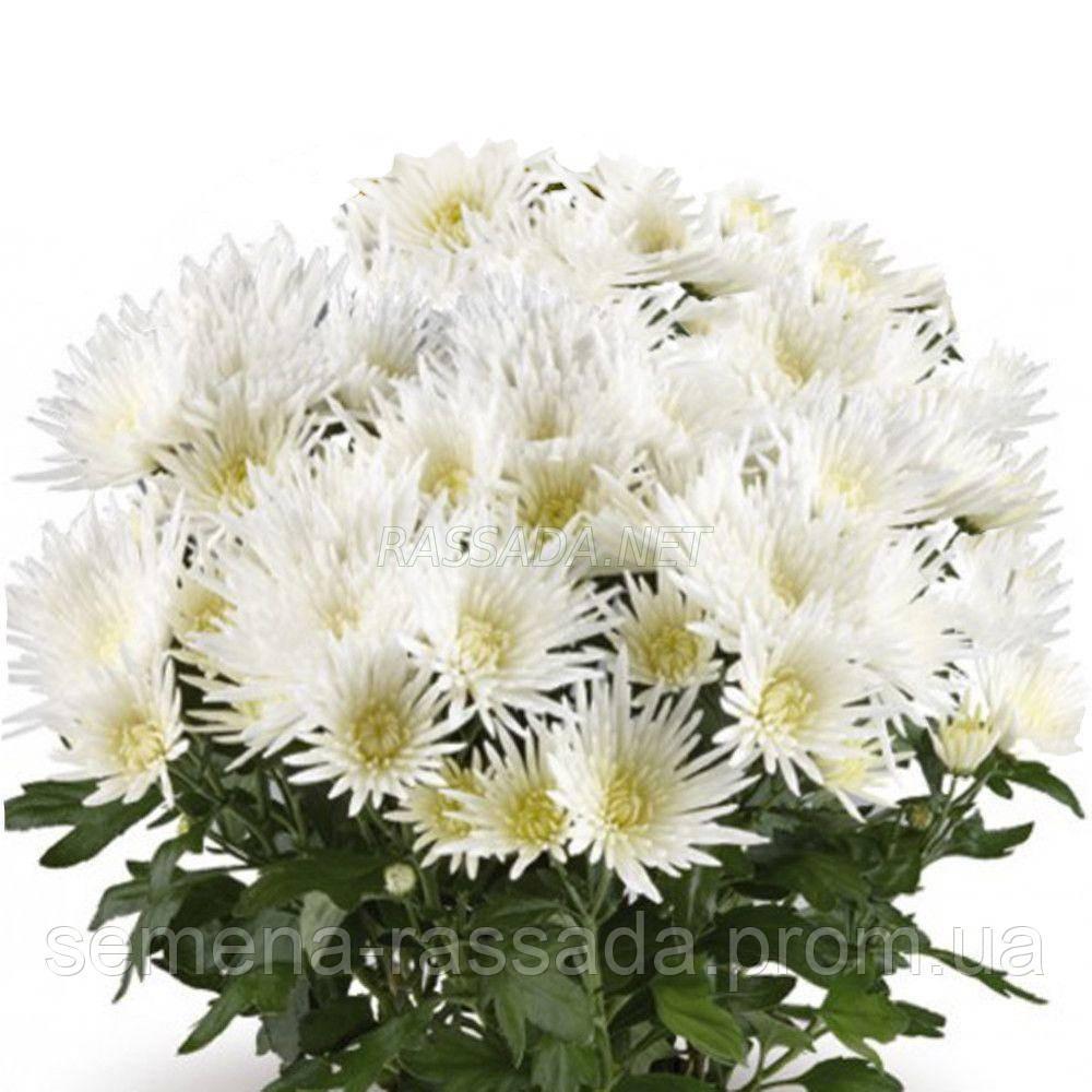 Хризантема бордюрная Артистик Спайдервумен белая.