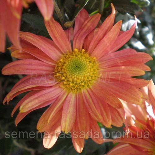 Хризантема веточная Пастель розовая.